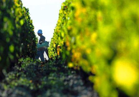 2013 margaux harvest image