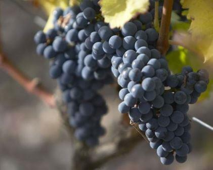 Counoise grapes Counoise Wine Grapes, Flavor, Character, History, Wine Food Pairing