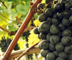 Grape Vines Bordeaux 300x250 Left Bank Bordeaux Wine Chateaux Listings, Character, Buying Guide