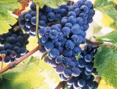 Grape harvesting International Cabernet Sauvignon Day August 30! Open a Bottle, Celebrate