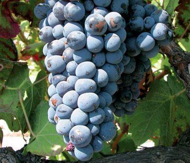 Muscardin 1 Muscardin Grape, Flavor Character History Wine Food Pairing Tips