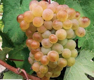 Picardan 1 Picardan Wine Grape, Flavor Character History Wine Food Pairing Tips