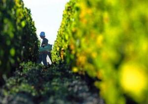 2014 Bordeaux Harvest 300x210 2014 Bordeaux Harvest for Red WIne Grapes Taking Place Now