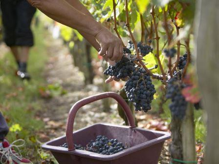Bordeaux harvest picker with basket Wine Topics
