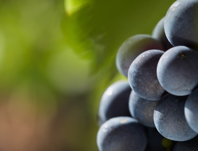 Grenache Grapes on the vine Domaine Benedetti Chateauneuf du Pape Rhone Wine, Complete Guide