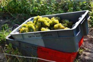 White Bordeaux Grape harvest 300x200 1991 Bordeaux Wine Vintage Report and Buying Guide
