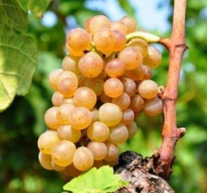 Muscat Grapes 300x280 Muscat Wine Grapes, Flavor, Character, History, Wine Food Pairings