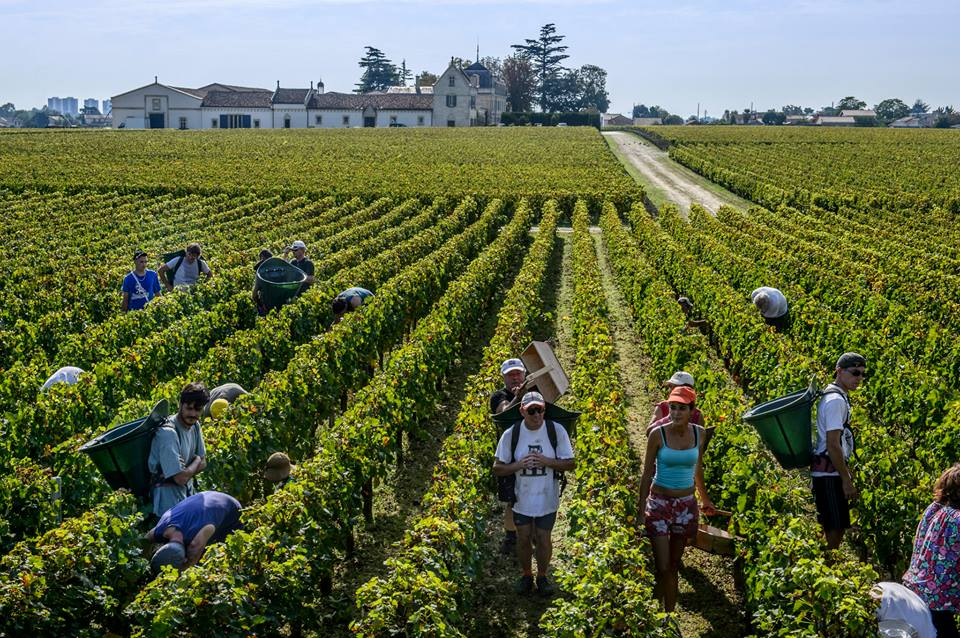 Haut Brion Harvest Pickers 2013 Pessac Leognan Strong White Wines Mixed Red Bordeaux
