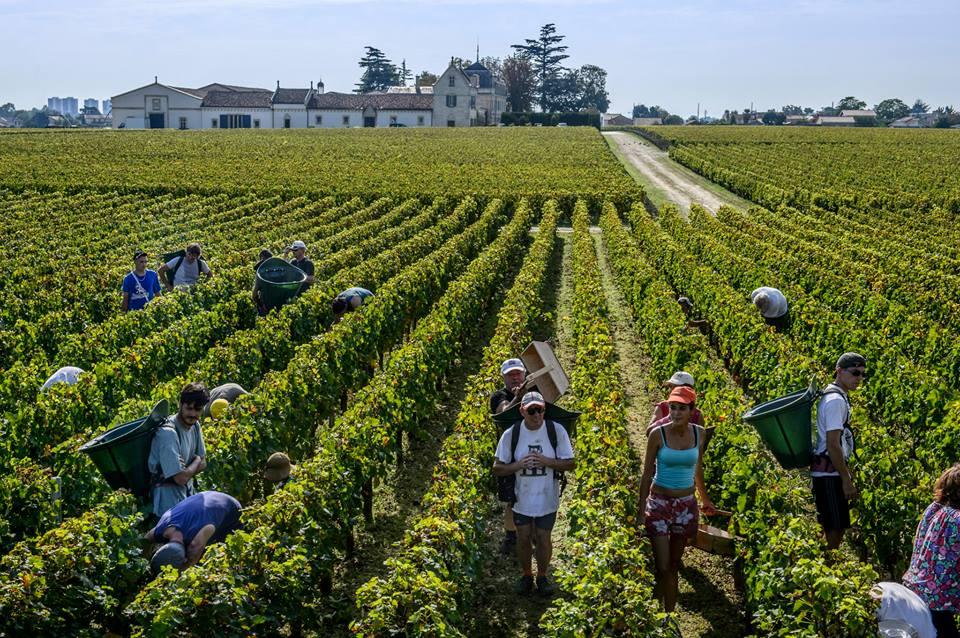 Haut Brion Harvest Pickers