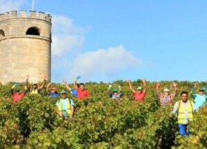 2015 Bordeaux Harvest 1 300x217 2015 Bordeaux Vintage and Harvest Report
