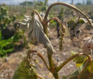 Bordeaux Frost Damage Vineyard 300x256 Devastating Bordeaux Frost, Up to 90% of Some Vineyards Destroyed